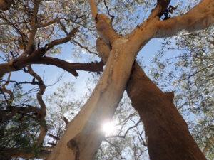 native australian superfooods